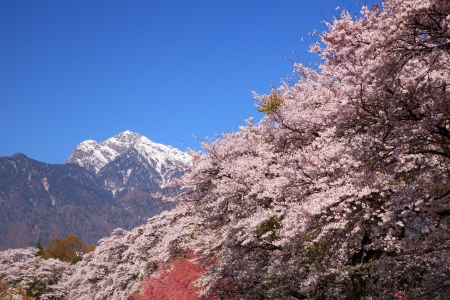 Cherry tree and southern alps of Japan, Yamanashi photo