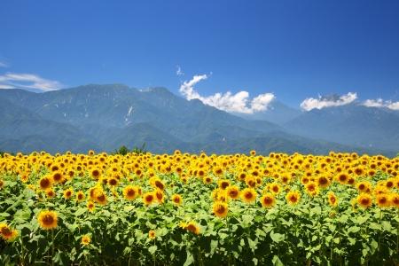 Champ de tournesol et de la montagne en été, au Japon