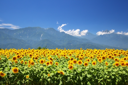 japan sky: Sunflower field and mountain in summer, Japan Stock Photo