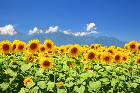 Sunflower field and mountain in summer, Japan 版權商用圖片