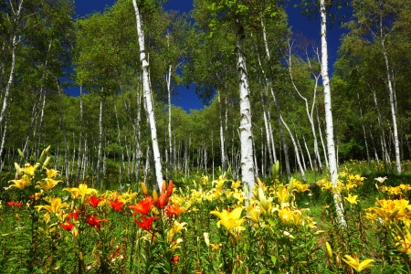 White birch forest and lily in summer