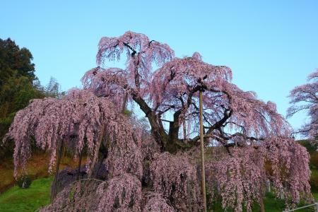 Cherry tree, Nema is MiharuTakizakura, Fukushima, Japan  스톡 콘텐츠