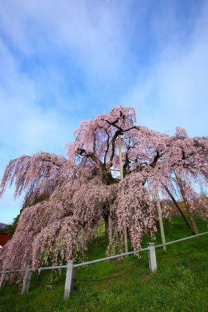 Cherry tree, Nema is MiharuTakizakura, Fukushima, Japan  photo