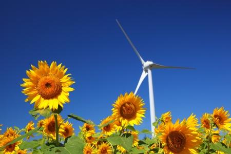 Sunflower field with windmill in Fukushima, Japan Stock Photo - 15367716