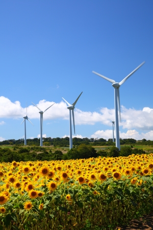 Sunflower field with windmill in Fukushima, Japan Stock Photo - 15367718