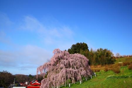 fukushima: Cherry tree, Nema is MiharuTakizakura, Fukushima, Japan  Stock Photo
