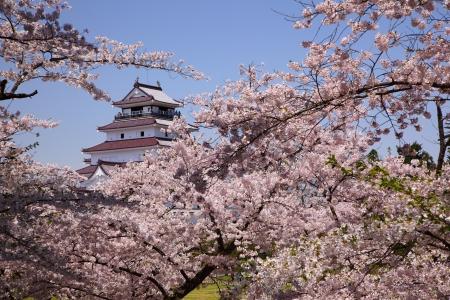 cerezos en flor: Aizuwakamatsu Castillo y flor de cerezo en Fukushima, Japón