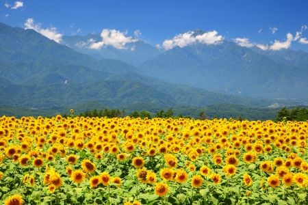 Sunflower field and mountain in summer, Japan 스톡 콘텐츠