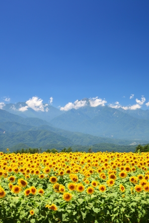 Sunflower field and mountain in summer, Japan Stok Fotoğraf