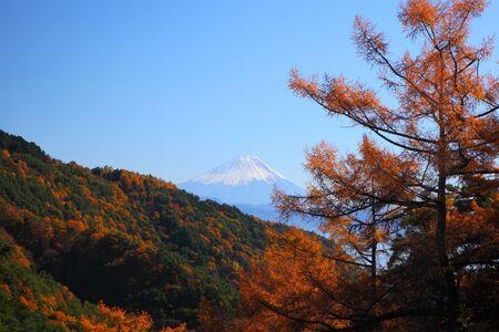 Mt  Fuji and Japanese larch in autumn, Yamanashi, Japan photo