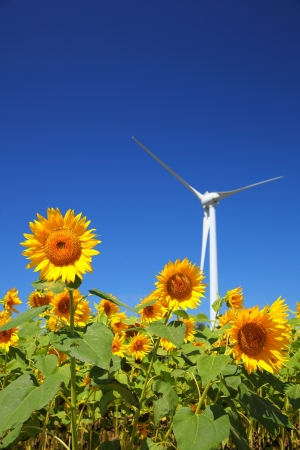 Sunflower field with windmill in Fukushima, Japan photo