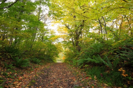 autumn path: A colorful autumn path in the forest, Fukushima, Japan