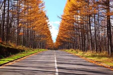 yellow leaves of Japanese larch avenue, Nagano, Japan photo