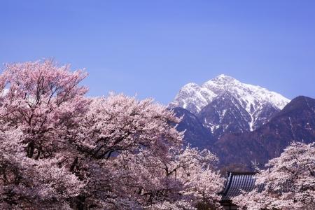 桜の木と Mt 甲斐駒ケ岳、山梨県