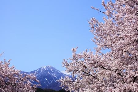 Cherry tree and Mt  Jizougatake, Yamanashi, Japan  photo