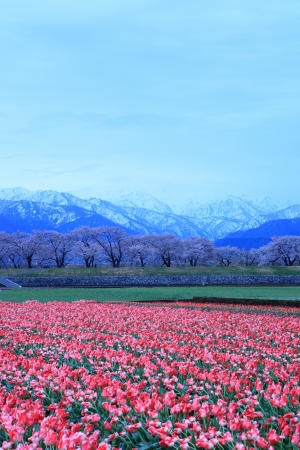 Tulips and cherry tree and The Japan Alps at daybreak photo