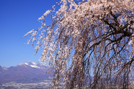 Weeping cherry tree and Mt. Asama, Nagano, Japan photo