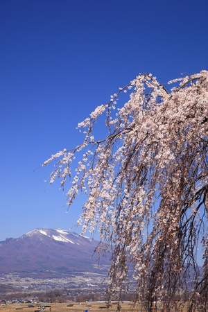 Weeping cherry tree and Mt. Asama, Nagano, Japan Stock Photo - 19428836