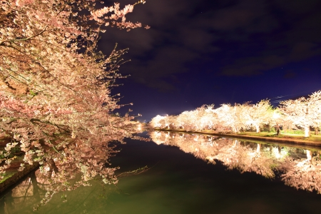 Light up of cherry tree in Hirosaki castle, Aomori, Japan photo