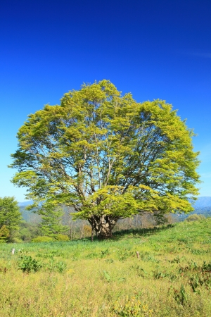 Maple tree and blue sky in early summer Stock Photo - 19929546