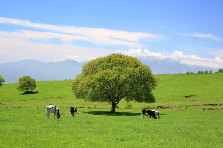 Tree on a meadow and cow, Yamanashi, Japan photo
