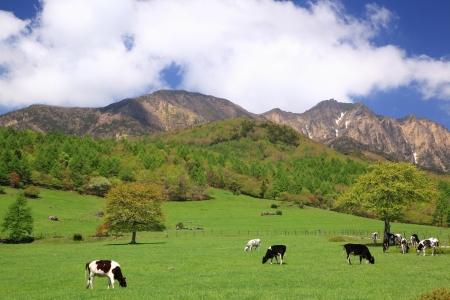 Cow of the Mt. Yatsugatake highlands, Yamanashi, Japan photo