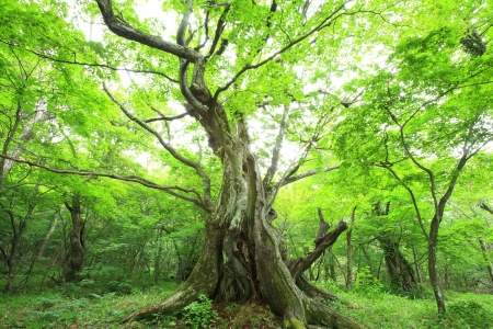 Primeval forest of Chestnut tree, Gunma, Japan Stock Photo - 20668160