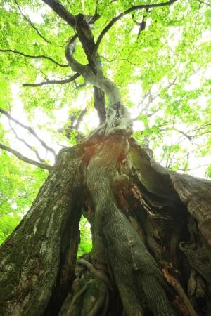 Primeval forest of Chestnut tree, Gunma, Japan Stock Photo - 20668167