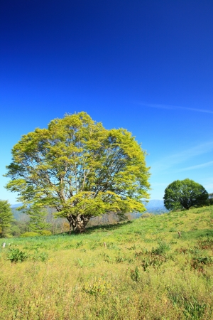 early summer: Maple tree and blue sky in early summer