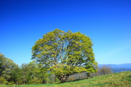 Maple tree and blue sky in early summer Stock Photo - 20668190