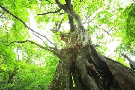 castaÑas: Bosque primitivo de Castaño, Gunma, Japón
