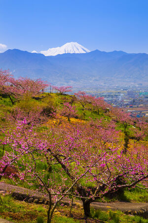Peach tree and Mt  Fuji in spring, Yamanashi, Japan photo