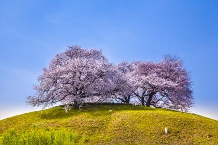 Cherry tree on the hill, Sakitama Tumulus, Saitama, Japan 版權商用圖片