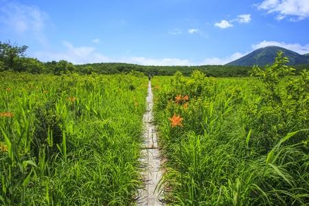 day lily: Day lily of Tashirotai marsh, Hakkoda, Aomori, Japan