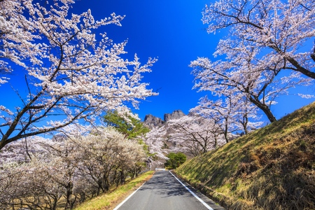 Road through the cherry trees, Mt. Myogi, Gunma, Japan