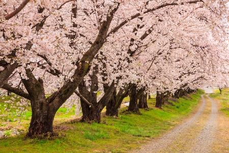 cherries: Cherry blossoms bloom path, Japan Stock Photo