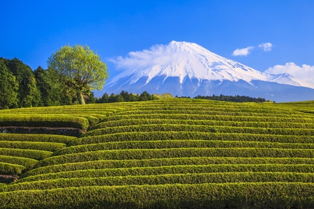 Japanese green tea plantation and Mt. Fuji, Shizuoka, Japan