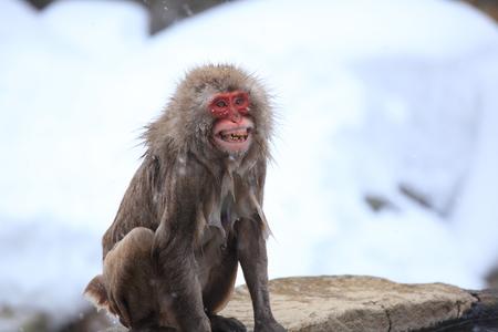 wrath: Angry monkey, Jigokudani, Nagano, Japan Stock Photo