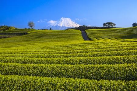 Japanese green tea plantation and Mt. Fuji, Shizuoka, Japan