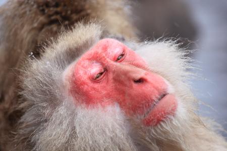 warmth: Snow monkey in hot spring, Jigokudani, Nagano, Japan