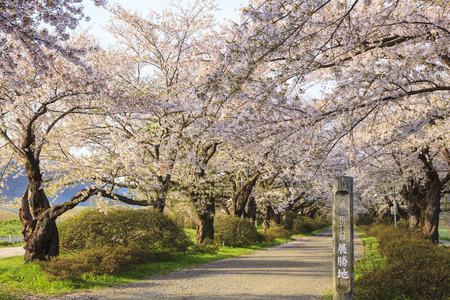 Cherry blossoms bloom path of Kitakami Tenshochi, Iwate, Japan 版權商用圖片