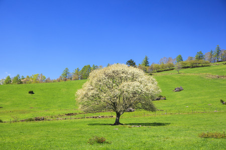 Blooming Pear Tree in Yatsugatake farm, Yamanashi, Japan photo