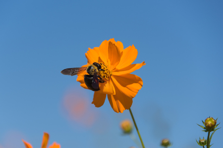 Bumblebee and Cosmos
