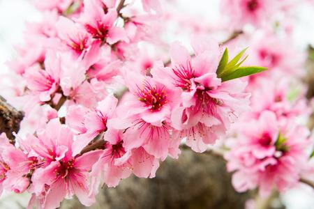 Peach Blossom Stok Fotoğraf - 66328639