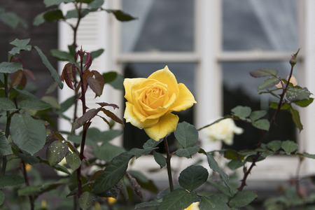 Yellow roses - Autumn flowers in Japan -