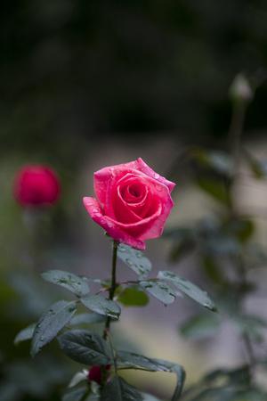 Deep pink roses - Autumn flowers in Japan -