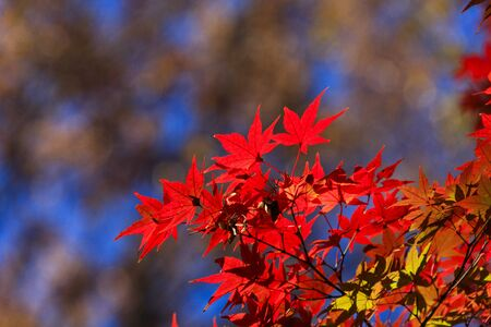 Autumn leaves - Autumn in Japan -