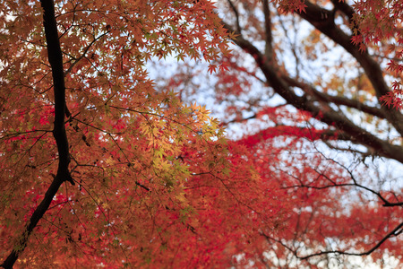 yellowish green: Autumn leaves - Autumn in Japan -