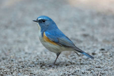 Red-flanked bluetail of Shibuya Tokyo