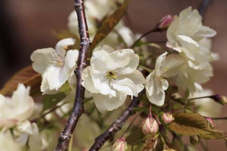 Double cherry blossoms in full bloom - Ukon -